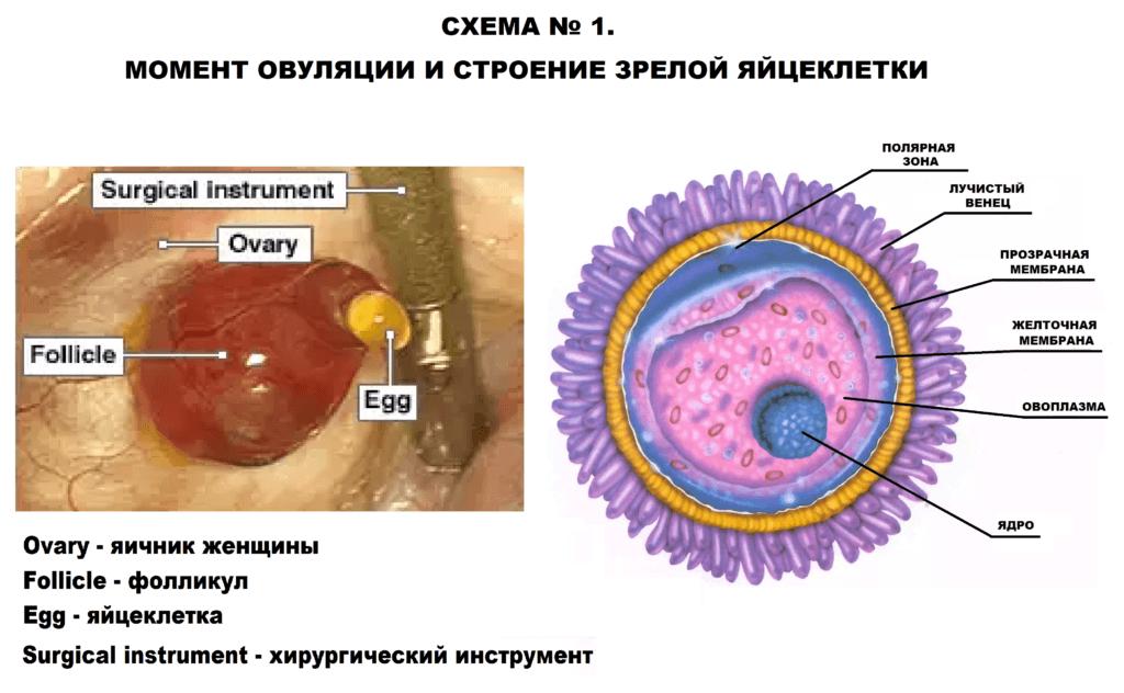строение зрелой яйцеклетки