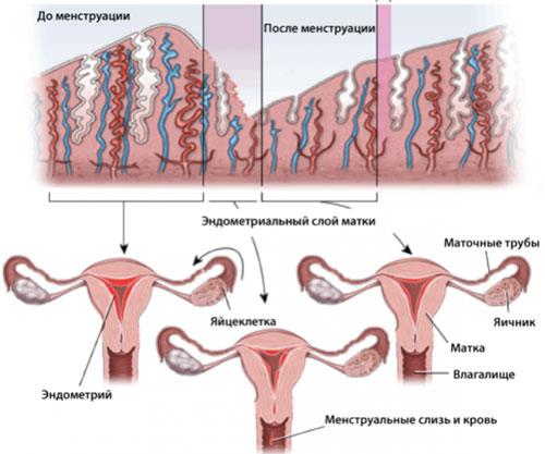 Нормы эндометрия по фазам-min