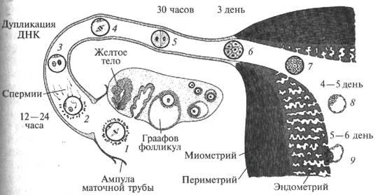 Схема стимуляции овуляции Клостилбегитом 1-min